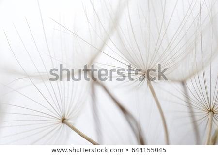 paardebloem · bloem · zaden · macro · plant · zaad - stockfoto © alessandrozocc
