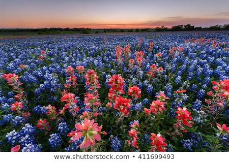field of bluebonnets close up stock photo © brandonseidel