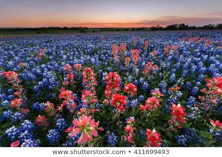 Dziedzinie kwiat niebieski blisko Dallas Zdjęcia stock © BrandonSeidel