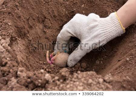 Female hand planting potato tubers into the soil Stock photo © Yatsenko