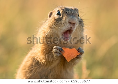 Stock photo: squirrel in love at sunset