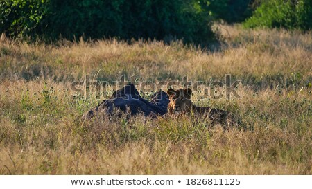 Stock photo: Male Lion in the high grass.