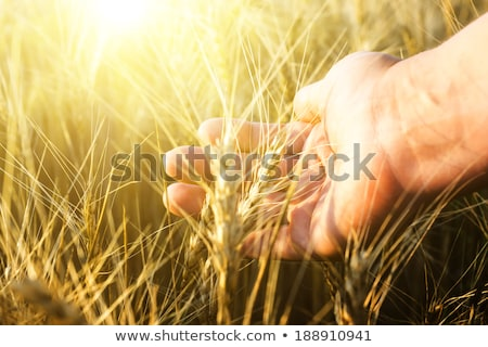 Female farmer touching wheat crop ears in field Stock photo © stevanovicigor