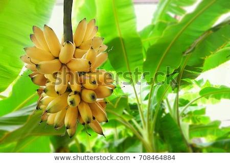 banana tree with green bananas Stock photo © BrandonSeidel