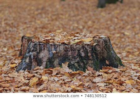 Old rotten tree stump in the autumn forest. Autumn mood. Withering and putrefaction concept Stock photo © galitskaya