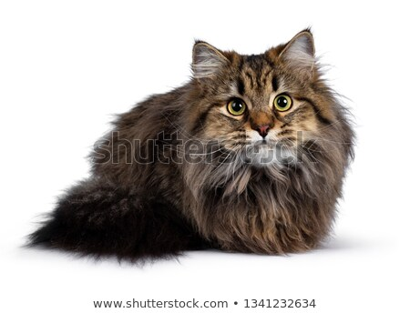 cute classic black tabby siberian cat stock photo © catchyimages