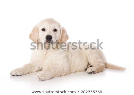Adorabile golden retriever cucciolo seduta bianco Foto d'archivio © vauvau