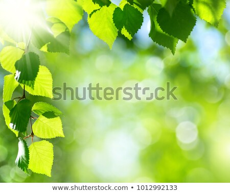 birch leaf, nature parks and forests Stock photo © studiostoks