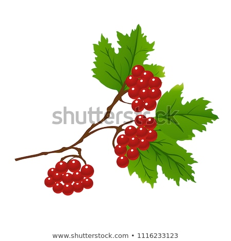 red viburnum stock photo © mayboro