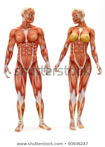 Stock photo: Male Muscular Anatomy Front View