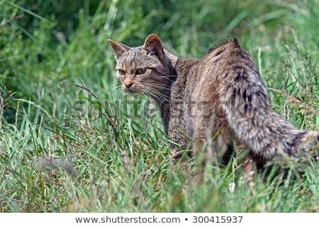 дикая кошка долго трава камеры Сток-фото © suerob