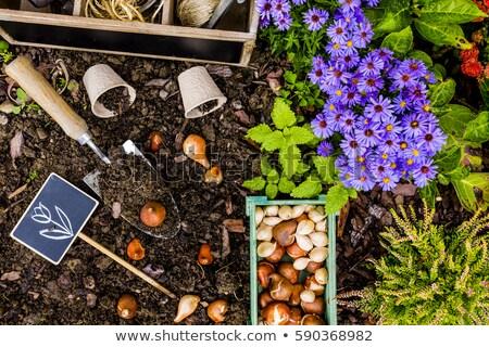 アイリス · 花 · 多くの · 孤立した · 白 - ストックフォト © ivonnewierink