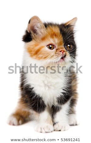 Persian tortie cat on the white background Stock photo © olgaru79