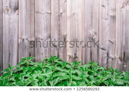 Nettle is growing near old wall - backdrop Stock photo © pzaxe