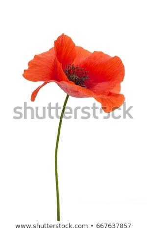 Elegance background with poppy flowers Stock photo © Lemuana