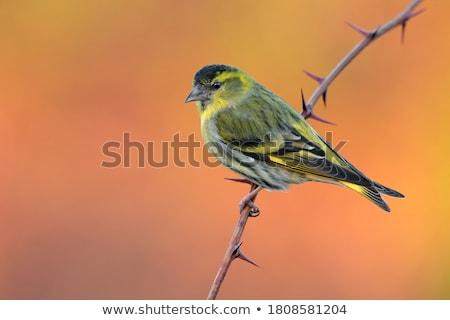 Ramo pássaro Foto stock © chris2766