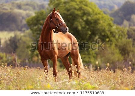 коричневый · лошади · трава · фермы · животного · луговой - Сток-фото © lebanmax