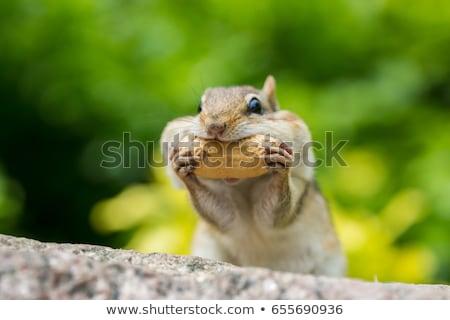 chipmunk eating stock photo © erickn