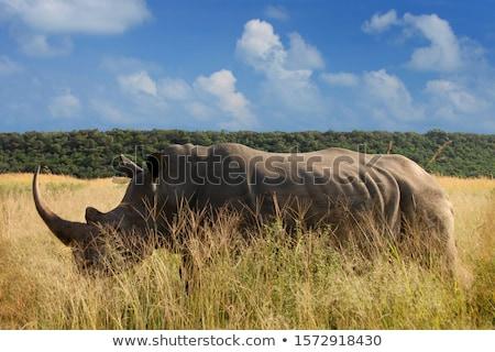 fekete · orrszarvú · ritka · veszélyeztetett · fajok · Afrika · veszélyeztetett - stock fotó © livingwild