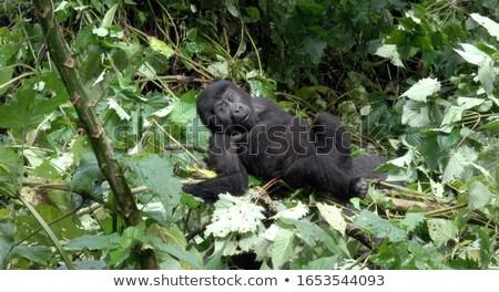 gorilla · portré · ül · fű · állatkert · fekete - stock fotó © bradleyvdw