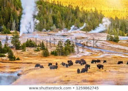 Bison grazing in Yellowstone  Stock photo © emattil