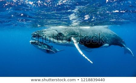 Balina güzel beyaz yüzme su temizlemek Stok fotoğraf © anbuch