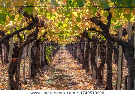 晴れた 秋 畑 遅い ブドウ 活気のある ストックフォト © xura