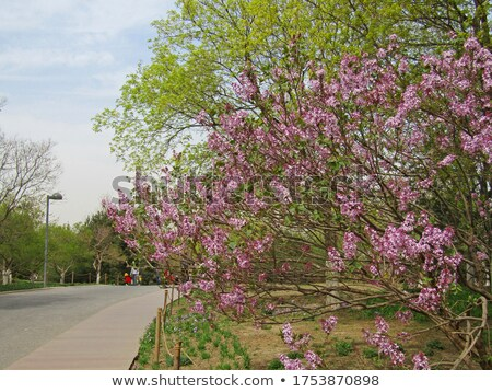 Beautiful Lilac Tree with Flowers over Bright Sky Stock photo © maxpro