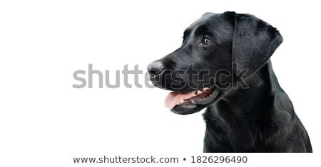 Zwarte shot honden buiten zonnige Stockfoto © bigandt