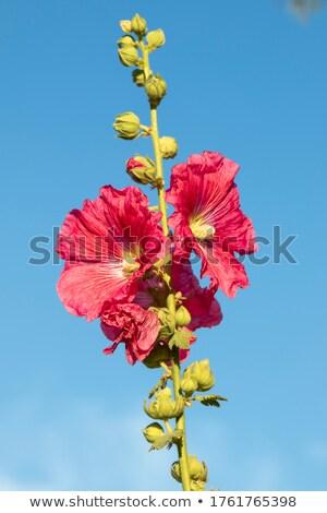 Hollyhock flower stem against the sky Stock photo © sarahdoow