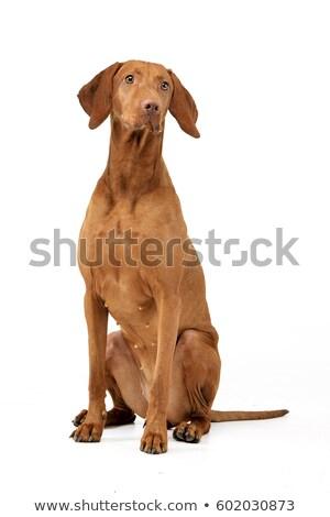 sitting Hungarian vizsla dog Stock photo © Quasarphoto