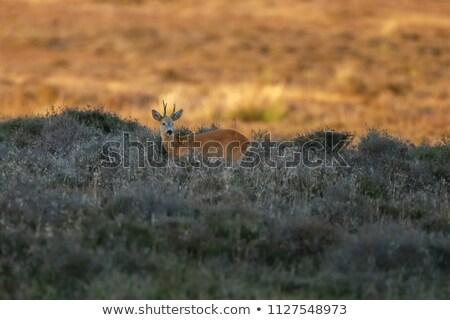 Cervo Holland natura autunno erba panorama Foto d'archivio © compuinfoto