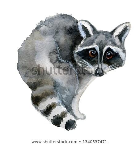 cute · mapache · alrededor · naturaleza · diseno · diversión - foto stock © Norberthos