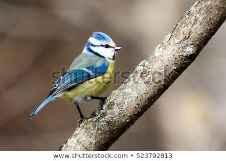 синий Тит сидят филиала саду птица Сток-фото © dirkr
