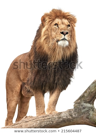 lion standing in tree stock photo © jfjacobsz