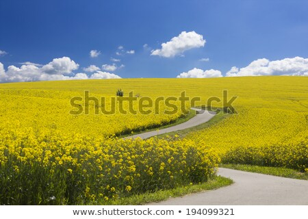 Through the rape fields Stock photo © tilo