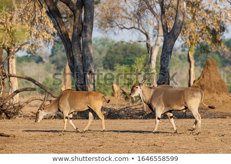Common Elands mating Stock photo © dirkr