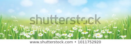 Domaine Daisy fleurs flou printemps herbe Photo stock © Zhukow