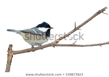 石炭 · 売り言葉 · 支店 · 鳥 · 立って · 自然 - ストックフォト © chris2766