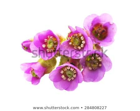 Purple saxifrage blossoming Stock photo © dinozzaver