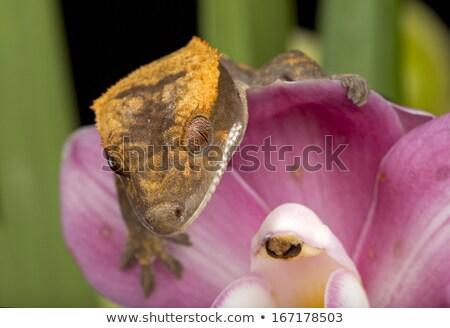 Gekko bloem bloemblaadjes roze bloem gezicht tropische Stockfoto © jeffmcgraw