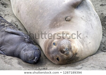Newborn Elephant Seal Lays Beach With Mother Stock photo © cboswell