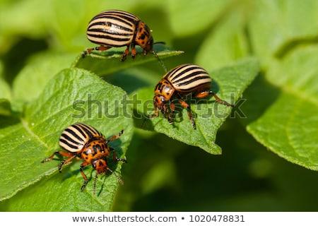 жук · насекомое · белый · макроса · коричневый - Сток-фото © konturvid