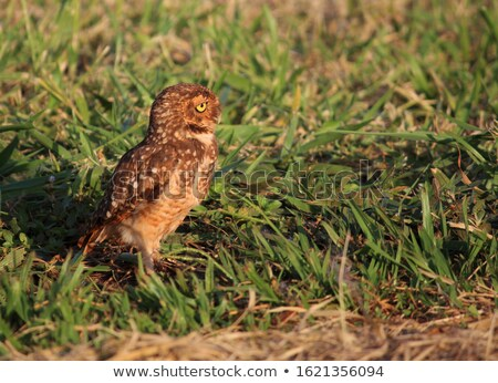 distracted owl stock photo © jrstock