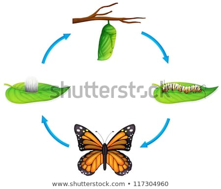 Life cycle - Danaus plexippus Stock photo © bluering