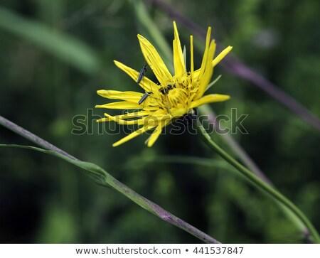Tragopogon orientalis yellow flower Stock photo © compuinfoto