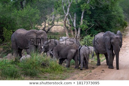 Little herd of Elephants drinking in the Kruger National Park. Stock photo © simoneeman