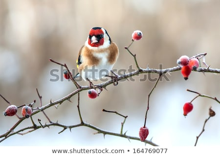 red rose hip and frozen leaves stock photo © juhku