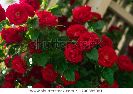 wild red roses stock photo © alphababy