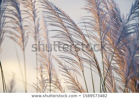 Reed against the sunset Stock photo © mady70